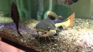 getlinkyoutube.com-Monster RTC RedTail Catfish feeding