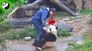 【Panda Top3】Clingy panda won't let nanny go back to work