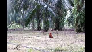 getlinkyoutube.com-ayam hutan pikat king