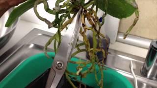 getlinkyoutube.com-Repotting a Phalaenopsis orchid into Semi-Hydroponic method