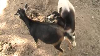 getlinkyoutube.com-Goats Mating,  Mena,  Arkansas