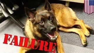 getlinkyoutube.com-كلب بوليسي يتعرض للطرد من الشرطة بسبب أداءه الرديء
