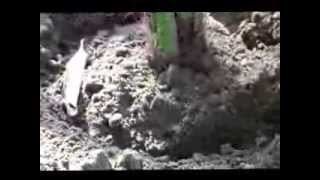 getlinkyoutube.com-Tissue Cultured Khanezi date palm planting