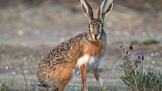 getlinkyoutube.com-Hare Hunting with hounds in Italy 2014 - Lugari Video Trailers - Chasse lievre