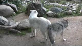 getlinkyoutube.com-Wolf Exhibits are sensitive to noise and disturbance
