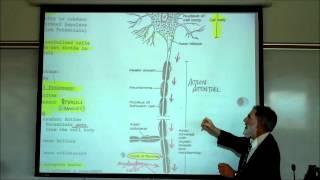 getlinkyoutube.com-Structure & Types of Neurons by Professor Fink