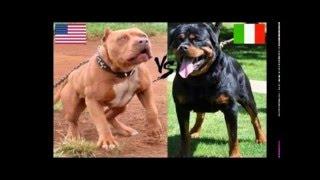 getlinkyoutube.com-Pitbull attack VS Rotweiller attack