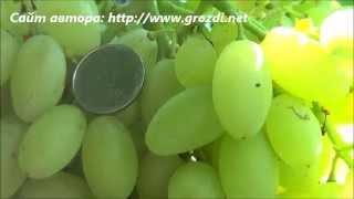 getlinkyoutube.com-Сорт винограда: Кишмиш Столетие