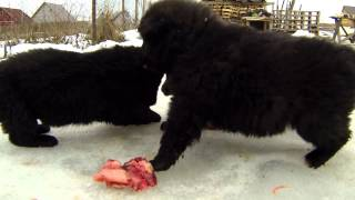 getlinkyoutube.com-Месячные щенки: кормление мясом