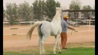 getlinkyoutube.com-الخيل العربي الأصيل في مزرعة في العبدلي