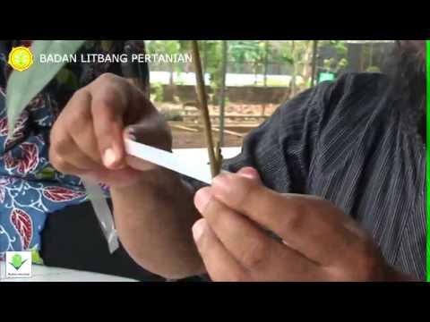 Teknik Okulasi dan Penyambungan Durian