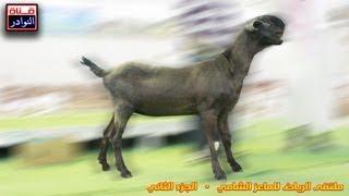 getlinkyoutube.com-اغنام شامية نوادر -ملتقى الماعز الشامي بالرياض الجزء الثاني