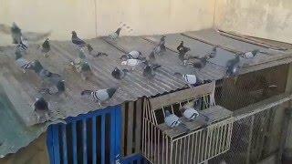 getlinkyoutube.com-Flying Racing Pigeons 2016