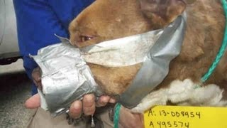 """getlinkyoutube.com-Pit Bull, Bait Dog """"Frodo"""" Found with Duct-Taped Muzzle, Extreme Injuries"""