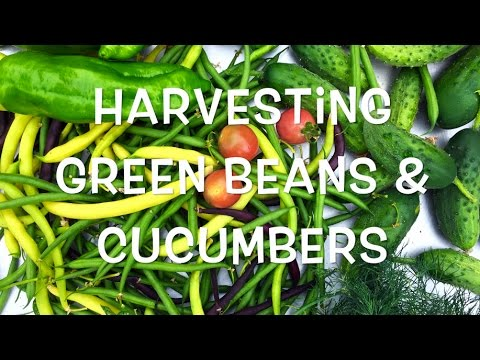 Harvesting Green Beans & Cucumbers