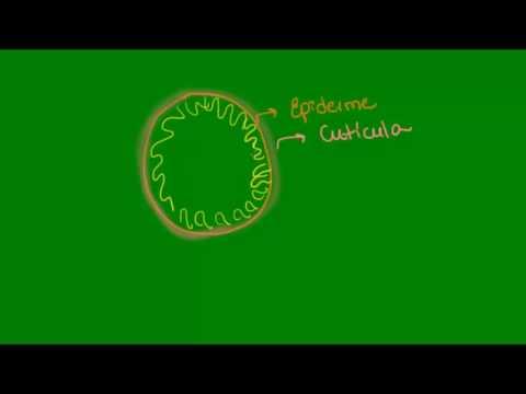Características gerais dos Nematelmintos - Zoologia - Biologia