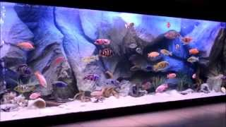 getlinkyoutube.com-My monster cichlids fish tank with my turtle