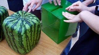 getlinkyoutube.com-The Amazing Square Water Melons in Japan