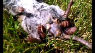 getlinkyoutube.com-Huge Collection of Botfly Larva Removal - Monster botfly and mangoworms