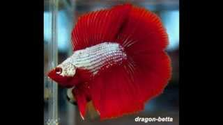getlinkyoutube.com-Betta Dragon 2012
