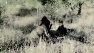 getlinkyoutube.com-Lions World ♛ The Fall Of The `Mapogos`