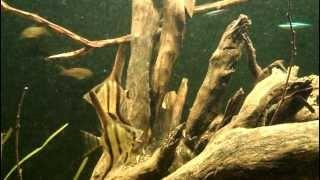 getlinkyoutube.com-Amazon Biotope, Aquarium