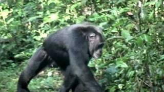 getlinkyoutube.com-Orphaned and Wild Chimpanzees in Uganda