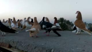 Monthly High Flying Pigeons Magazine Imran Haider