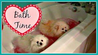 getlinkyoutube.com-OUR POMERANIANS & YORKIE DOGS HATE BATH TIME