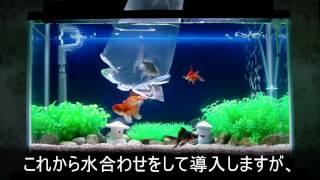 getlinkyoutube.com-金魚水槽のその後