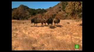 """getlinkyoutube.com-Lobos gigantes documental """"ESPAÑOL"""" 1ra parte"""