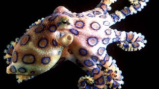getlinkyoutube.com-Octopus: Beautiful Ocean Creatures - Nature Documentary