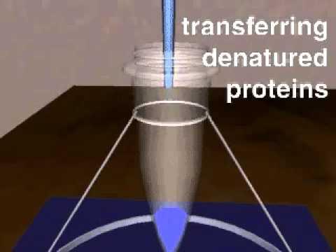SDS page electrophoresis