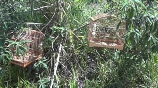 getlinkyoutube.com-treinando o coleiro no mato