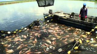 getlinkyoutube.com-Sustainable Tilapia Farming Demo, Tropical Aquaculture Products, Inc.