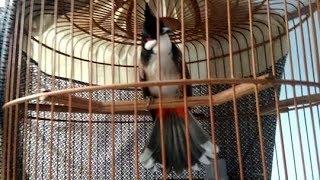 Kutilang Jambul Gacor Gaya Nyentrik Suara Asyik width=