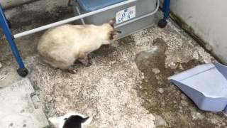 getlinkyoutube.com-แมวหนีน้ำ 貓逸出的水 猫は水をエスケープ The cat escaped water.