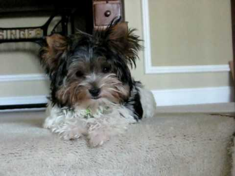 JuJu the Biewer Yorkshire Terrier