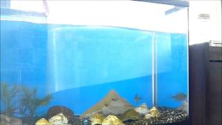 getlinkyoutube.com-水槽一つで、天敵の魚を同時に飼う方法