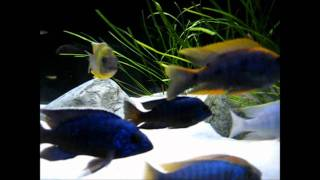 getlinkyoutube.com-180g All Male Peacock/Hap Show Tank