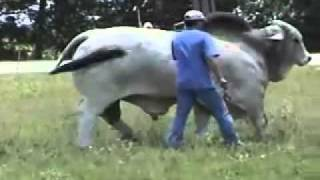 getlinkyoutube.com-Brahman Bull MR. V8 2875 Super Stroke.flv