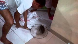 getlinkyoutube.com-Cara Menangkap Tikus Besar Yang Masuk Ke Dalam Rumah