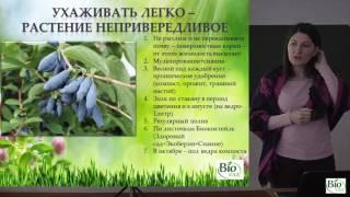 Ягодные кустарники -  Жимолость