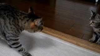 getlinkyoutube.com-子猫、先住猫の居る部屋へ初めて行く