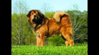 getlinkyoutube.com-Giant Tibetan Mastiff - Goliath Dog