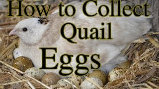 getlinkyoutube.com-How to Collect Quail Eggs & Other Tips