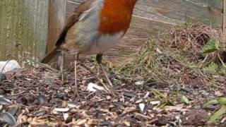 getlinkyoutube.com-Garden Birds feeding (spring)