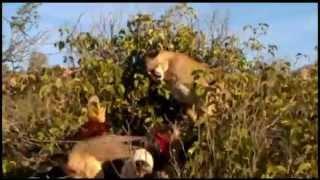 getlinkyoutube.com-Arizona Moutain Lion Hunts