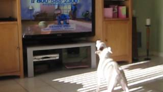 getlinkyoutube.com-Jack Russell singing the Empire Carpet Commercial