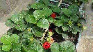 getlinkyoutube.com-زراعة الفرولة في العراق ((فوق سطح المنزل))
